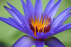 Blue water lily macro Royalty Free Stock Photos