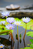 Blue water lily. Water lily or Nymphaea is a genus of hardy and tender aquatic plants in the family Nymphaeaceae. The genus has a cosmopolitan distribution. Many Stock Images
