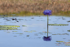 Blue water lily Stock Photos