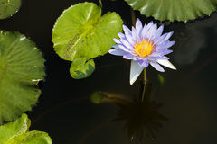 Blue water lily in a sunny day Royalty Free Stock Images