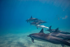 Blue water of ocean with pod of dolphins traveling underwater. Group of Wild dolphins underwater in deep blue ocean in daylight Stock Photography