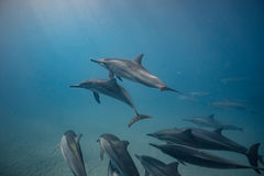 Blue water of ocean with pod of dolphins traveling underwater. Group of wild Dolphins underwater in deep ocean in blue water background Royalty Free Stock Photos