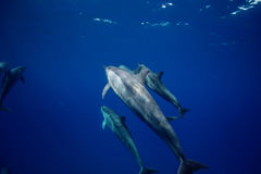Blue water of ocean with pod of dolphins traveling underwater. Group of wild Dolphins underwater in deep ocean in blue water background Stock Photos