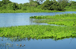 Blue water River Uruguay in Brazil. Blue water river, beautiful landscape. River Uruguay in Brazil. Tropical greenery plants floating in blue water river and stock photos