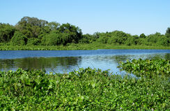 Blue water River Uruguay in Brazil. Blue water river, beautiful landscape. River Uruguay in Brazil. Tropical greenery plants floating in blue water river and royalty free stock photography