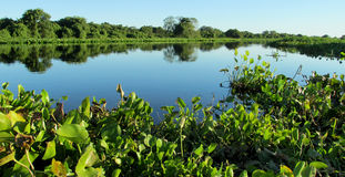 Blue water River Uruguay in Brazil. Blue water river, beautiful landscape. River Uruguay in Brazil. Tropical greenery plants floating in blue water river and stock image