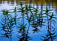 Blue water. Waterplants in the sunny, blue lake Stock Image
