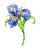 Blue watercolor iris flower Royalty Free Stock Photos