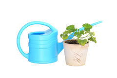 Blue watering can and flower in a pot. Royalty Free Stock Image