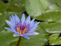 Blue Waterlily. Close up of a Light Blue Waterlily Stock Images
