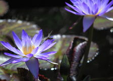 Blue Water Lily Flower Dragonfly Stock Photo