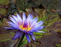 Blue waterlily in pond. Closeup of blooming blue waterlily flower in pond Royalty Free Stock Image
