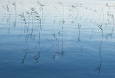 Blue waters. Lake weeds in water in the evening Royalty Free Stock Photos