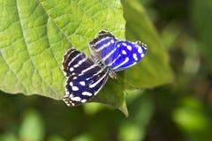 Free Blue Wave Butterfly(Myscelia Cyaniris) Royalty Free Stock Photography - 34803627