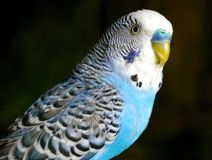 The Blue wavy parrot. Royalty Free Stock Photography