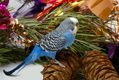 Blue wavy parrot and cedar big shots Royalty Free Stock Image