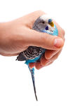 Blue wavy parrot in the male hand. Close Royalty Free Stock Photo
