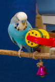 Blue wavy parrot with a toy Royalty Free Stock Photography