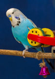 Blue wavy parrot with a toy Royalty Free Stock Image