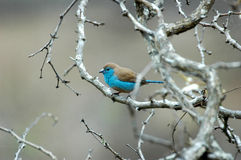 Blue Waxbill Stock Photos
