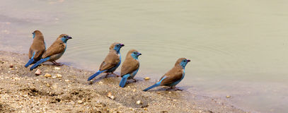 Blue Waxbill. Five Blue Waxbills at the waters edge, Kruger National Park Royalty Free Stock Photography