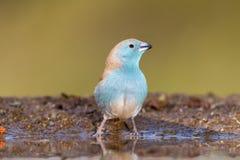 Blue Waxbill Royalty Free Stock Image