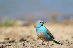 Blue Waxbill - Astonishing Beauty from Africa Stock Photography