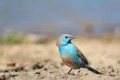 Blue Waxbill - Astonishing Beauty from Africa Stock Photography