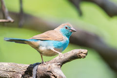Blue waxbill on branch Stock Images