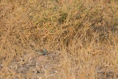 Blue waxbill Royalty Free Stock Photo