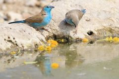 Blue Waxbill - Cute Beauty Bird Background from Africa Stock Images
