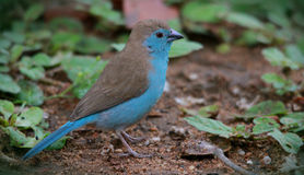 Blue Waxbill Stock Image
