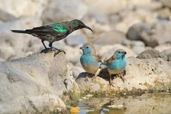Blue Waxbill and Sunbird - Wild Bird Background from Africa - Poses of Blue and Green Stock Image