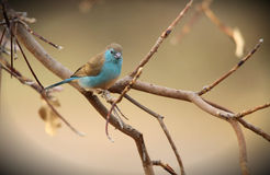 Blue Waxbill Royalty Free Stock Images
