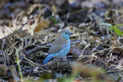 Blue Waxbill (Uraeginthus anglolensis) - Botswana Stock Photo