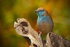 Blue Waxbill, Uraeginthus angolensis, detail of exotic blue and orange African song bird  in the nature habitat, Chobe National Pa Stock Image