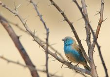 Blue Waxbill - Wild Bird Background from Africa - Beauty and the Thorn Royalty Free Stock Image