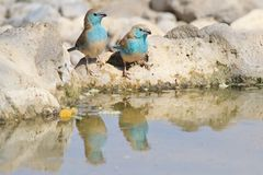 Blue Waxbill - Wild Bird Background from Africa - Couples of Color Royalty Free Stock Images