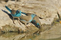 Blue Waxbill - Wild Bird Background from Africa - Poses of Blue Royalty Free Stock Photography