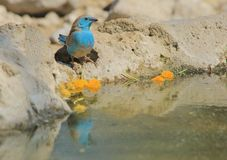 Blue Waxbill - Wild Bird Background from Africa - Reflection of Color Stock Photos