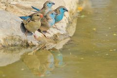 Blue Waxbill - Wild Bird Background from Africa - Trio Reflection of Color Royalty Free Stock Photos