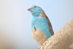 Blue Waxbill - Wild Birds From Africa Stock Photography