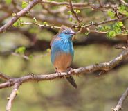 Blue Waxbill - Wind in Feathers Stock Photos