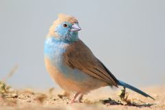 Blue Waxbill - Wondrous Blue Beauty from Africa. Blue Waxbill female at a watering hole on a game ranch in Namibia, Africa Stock Photography