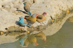 Blue Waxbills and Melba Finch - Cute Beauty of Colorful Birds Background from Africa Royalty Free Stock Photos
