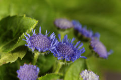 Blue Weed Ageratum houstonianum Stock Photography