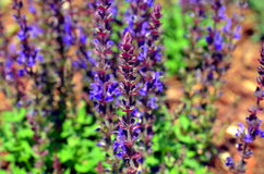 Blue weed Ajuga reptans growing in summer Stock Photos