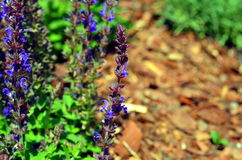 Blue weed Ajuga reptans growing in summer Royalty Free Stock Image