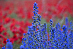 Blue weed, Echium vulgar wildflower during sunrise at the island Royalty Free Stock Photo