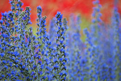 Blue weed, Echium vulgar wildflower during sunrise at the island Royalty Free Stock Photos